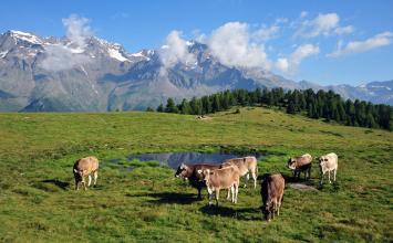 mucche-per-latte-caseificio-presanella